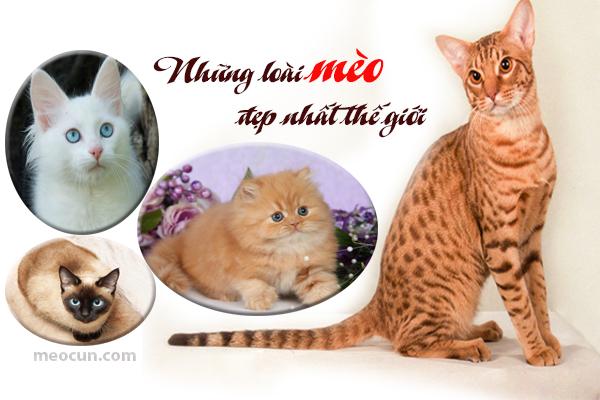 Những giống mèo đẹp nhất thế giới Mèo Cún Pet Shop