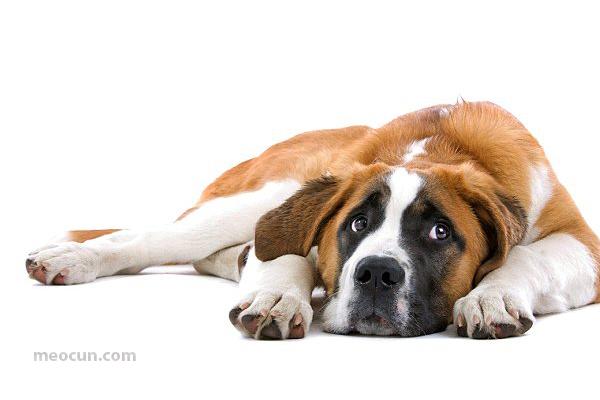 Chó bị ốm, chó bị cảm cúm - Mèo Cún Pet Shop
