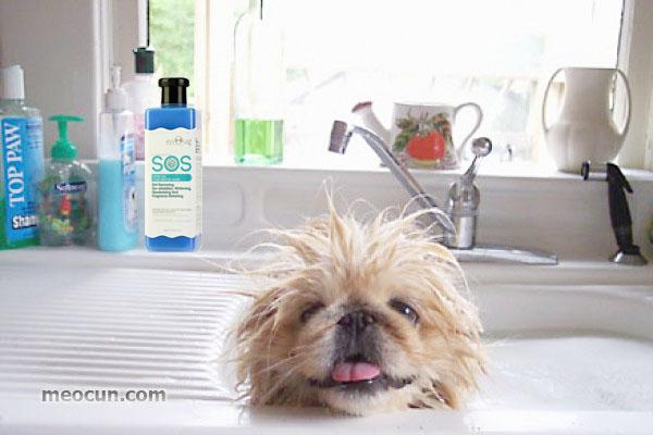 Hướng dẫn tắm cho chó đúng cách - meocun.com